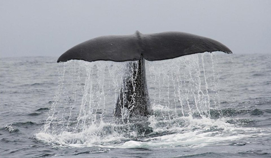 Whale tail out of water
