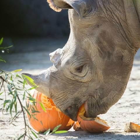 Foobler Food Toy for Rhinos